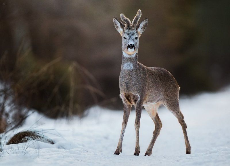roe-deer, wildlife, nature, winter Snow-deerphoto preview