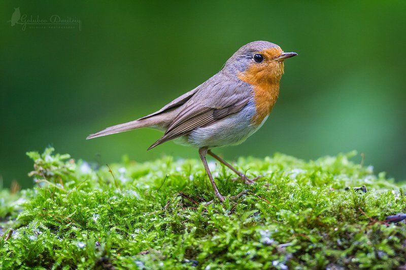 зарянка, малиновка, птицы, дикая природа, мох, лето, лес, forest, robin, bird, summer Портрет зарянкиphoto preview