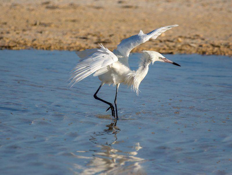 little egret , cuba, dance, малая белая цапля, куба, танец Dancephoto preview