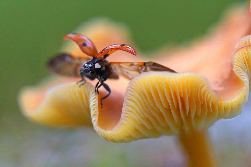 насекомое, жук, божья коровка, гриб, природа За момент до...photo preview