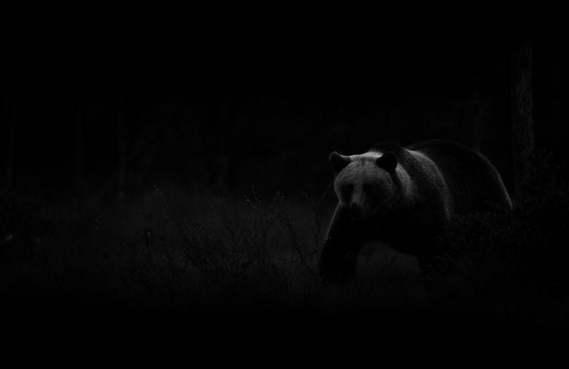 Bear, Finland Bear, Finlandphoto preview