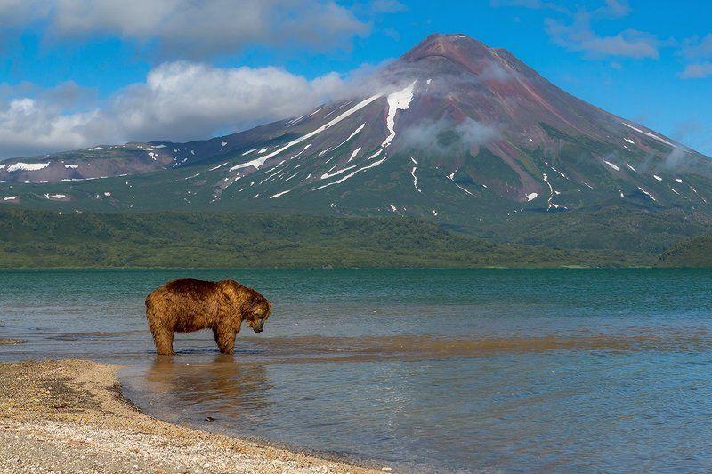 камчатка, медведь, природа, путешествие, лето, животные, вулкан, озеро, рыбалка В ожидании лососяphoto preview