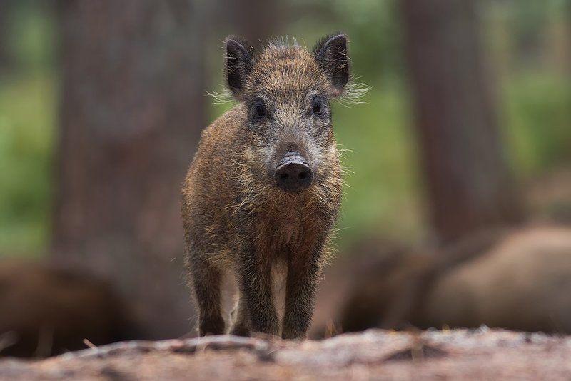 animals,nature,boar Boarphoto preview