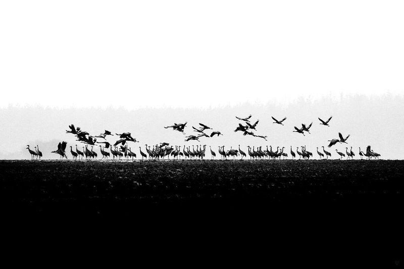 brids, wildlife, bw, grus grus, common crane In betweenphoto preview