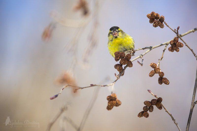 Чиж, птицы, дикая природа, ольха, siskin, bird, wildlife Солнечный чижикphoto preview