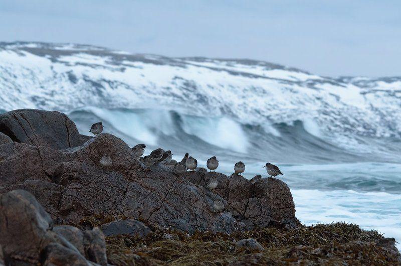 териберка кольский кулики море волны крайземли птицы камни ветер Лови волнуphoto preview
