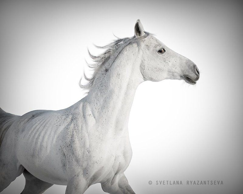 arab, arabian, beautiful, breed, equestrian, equine, gallop, grey, head, horse, isolated, motion, portrait, purebred, stallion, white, лошадь, лошади, арабская, арабский, жеребец, серый, серая, белый Воздушныйphoto preview