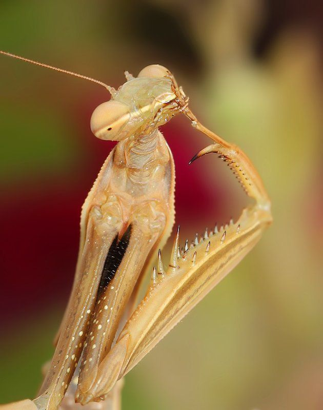 mantis mantisphoto preview