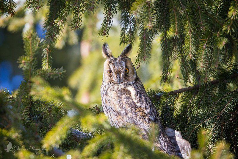 owl, long-eared owl, bird, wildlife, сова, ушастая сова, птицы, дикая природа Ушастая соваphoto preview