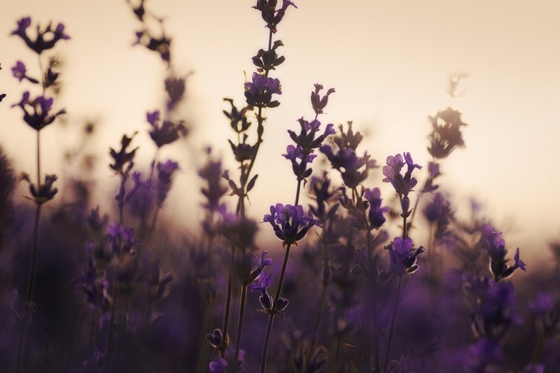 Lavender morningphoto preview