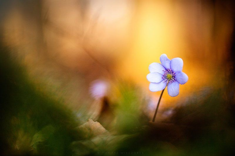 spring, forest, poland, silesia, light, morning, flower, hepatica nobilis, colours We have it! Spring has comephoto preview