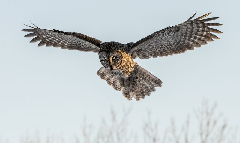 chouette lapone / great gray owl / strix nebulosa photo preview