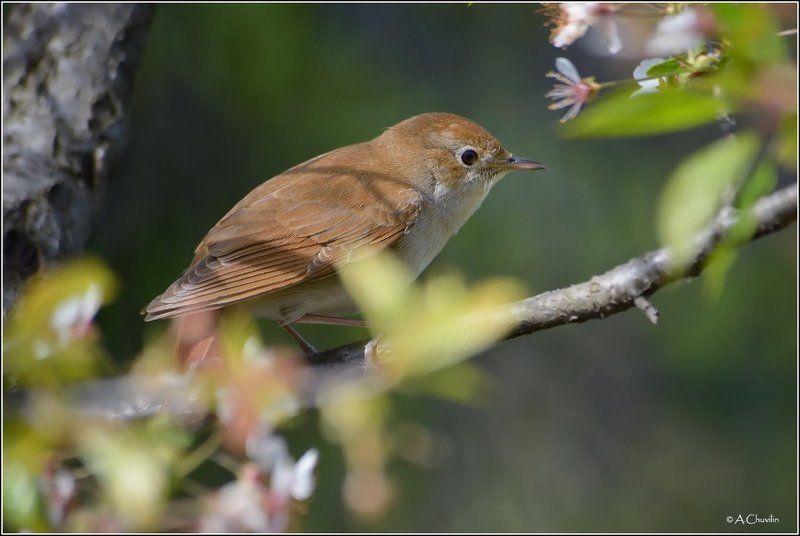 крым апрель черешня цветёт соловей чиж Черешня цветёт )photo preview