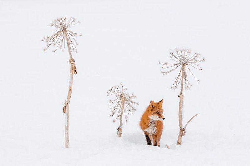 камчатка, зима, лиса, природа, путешествие, снег Спряталсяphoto preview