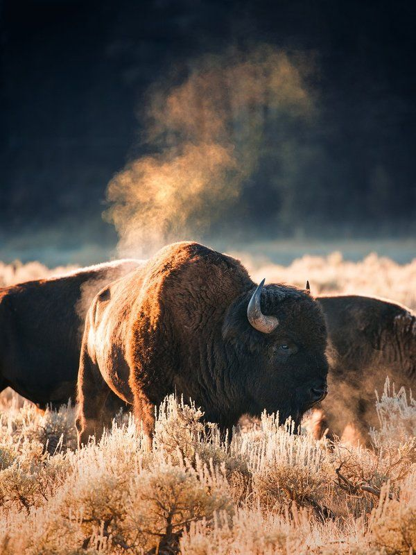 Bison  Badassphoto preview