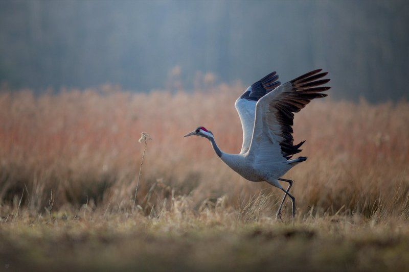 grus grus, common-crane, crane, wildlife, bird Grus grusphoto preview