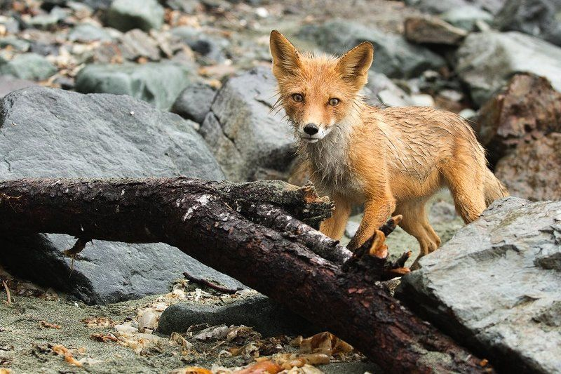 лиса, животные,камчатка, морской берег любопытство не порокphoto preview