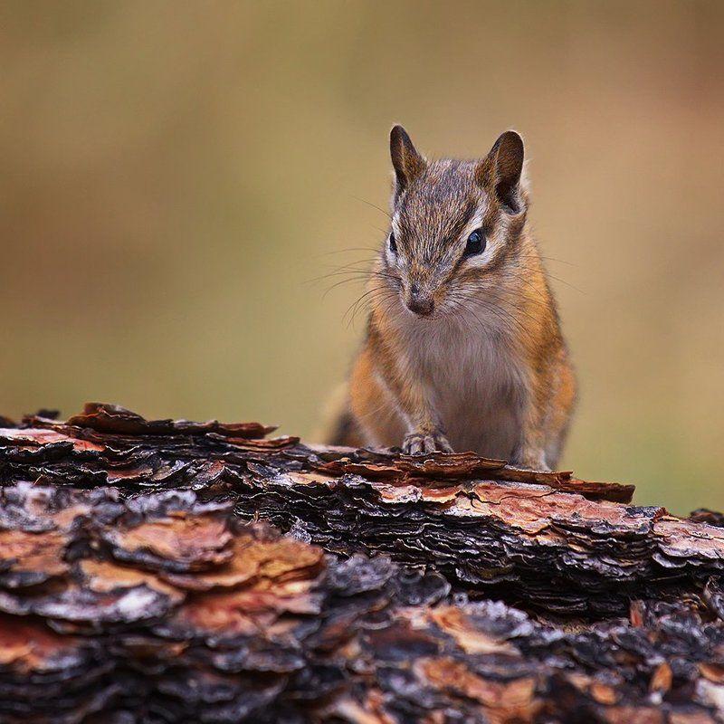 бурундук, животное, природа, дикая природа, лес На пенёчке...photo preview