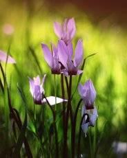 Цикломенны, как признак весны