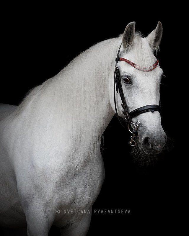 horse, white, grey, portrait, bridle, black, trotter, лошадь, серая, белая, портрет Орбитаphoto preview