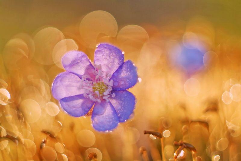 Весна, Гелиос, Цветы Весенние цветыphoto preview