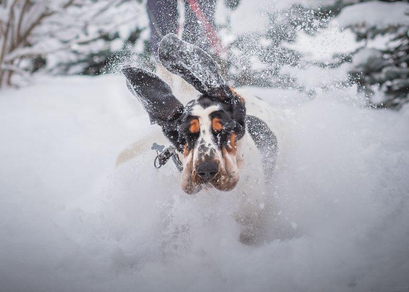 бассет, бассет зимой, зима Б52photo preview