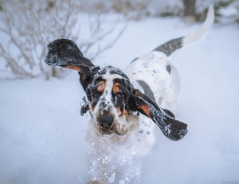 бассет, уши бассета, бассет зимойб собака Вот это размахphoto preview