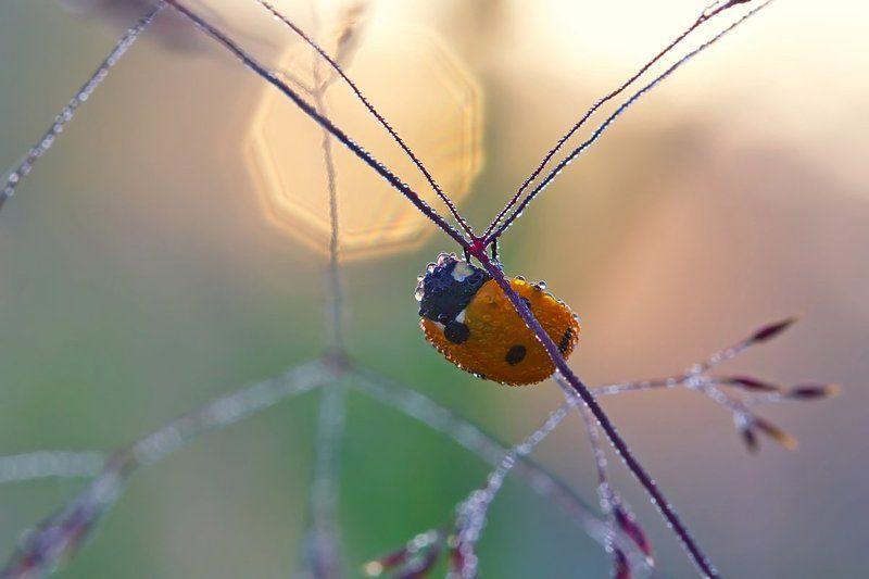 насекомое, жук, божья коровка, природа, роса, утро, макро И первый солнца луч...photo preview