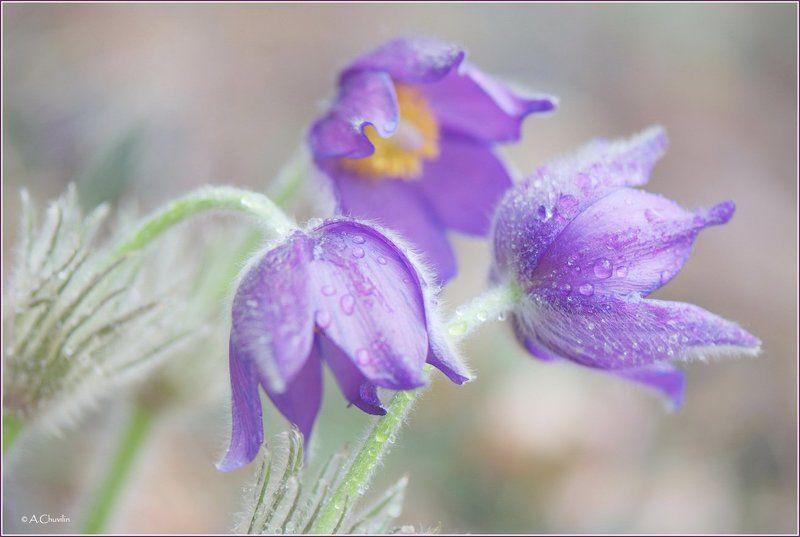 цветы,весна.сон,трава Сон траваphoto preview