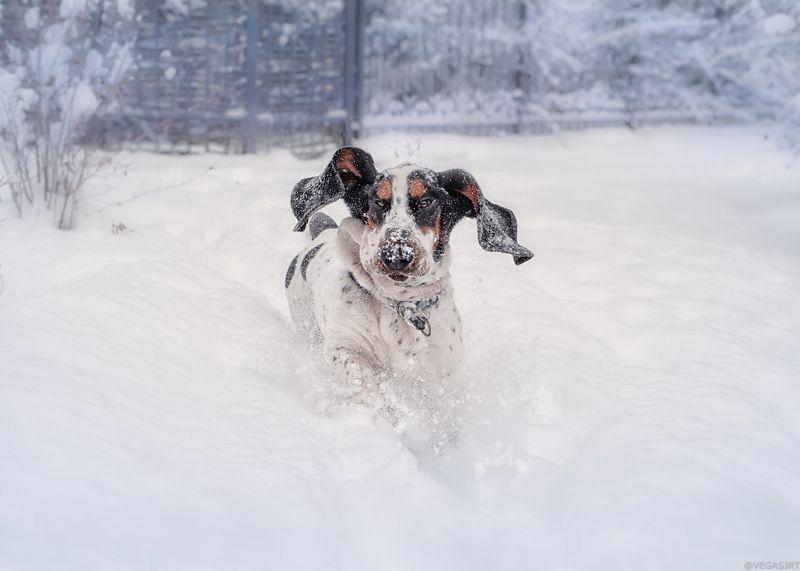бассет, собака зимой собака в снегу Снежный бассетphoto preview