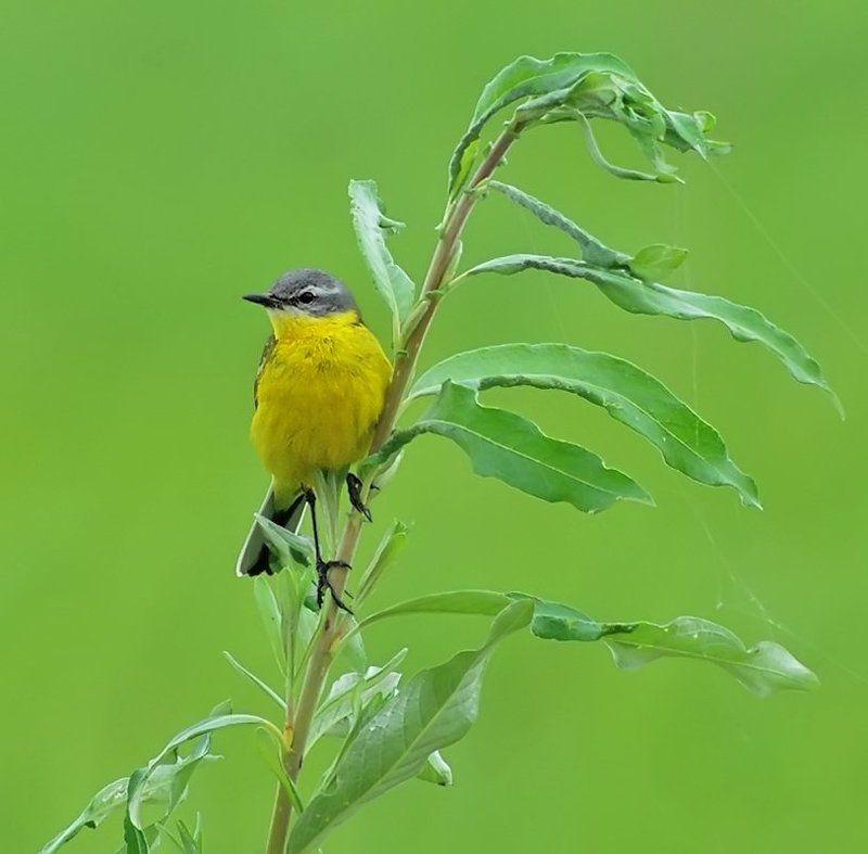 птица, жёлтая трясогузка Жёлтое на зелёном...photo preview