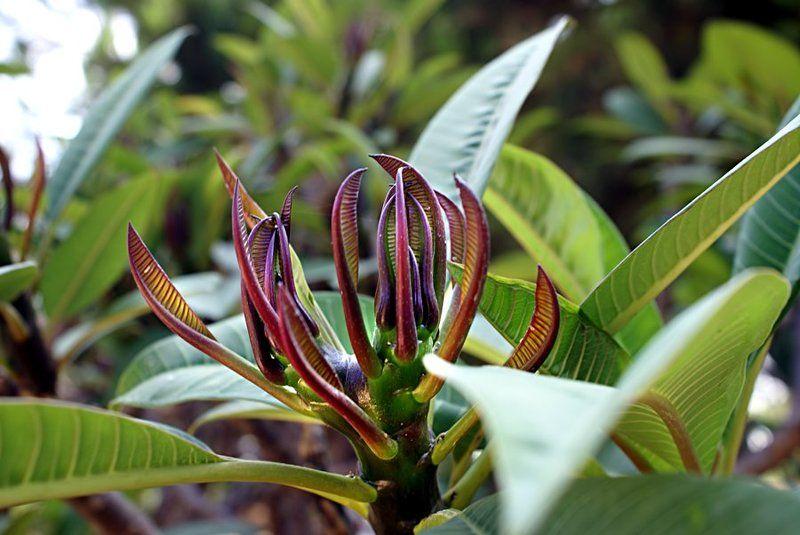 plumeria, плюмерия, франжипани Plumeria or Frangipani in springphoto preview