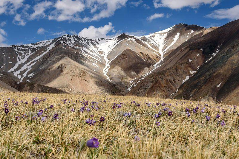 алтай, курайский, горы, подснежники, mountains, snowdrops Сон-трава на Курайскомphoto preview