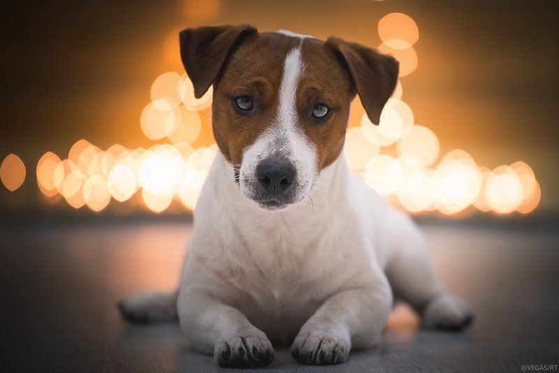 джек расселл терьер, дрт, джек рассел, терьер, собака, боке Чертовски привлекателенphoto preview