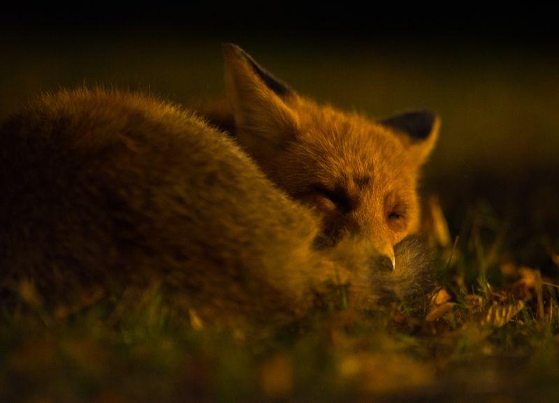 fox, wildlife, darkness, sleep Sleep like an angelphoto preview