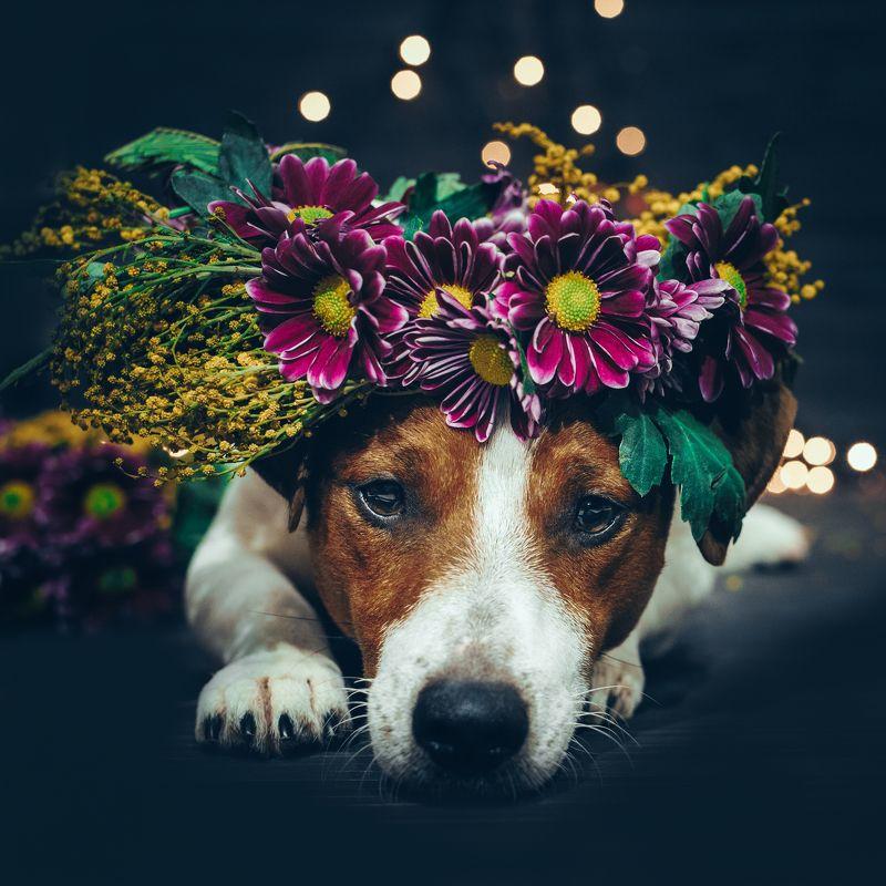 джек рассел терьер, собака, dog, цветы, веннок Выбери меняphoto preview