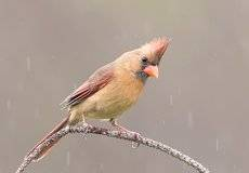 Красный кардинал (cамка) - Northern Cardinal (female)