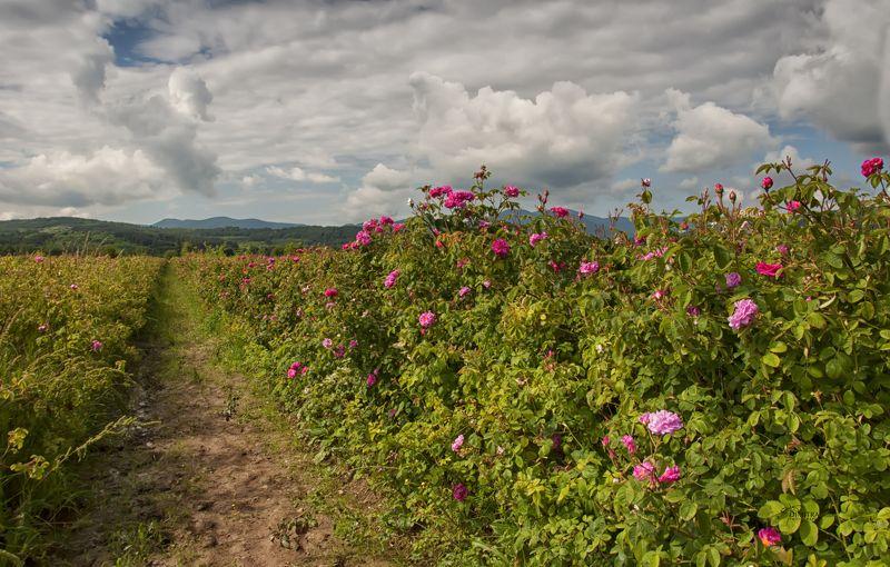 Болгарская роза - Роза дамасскаяphoto preview