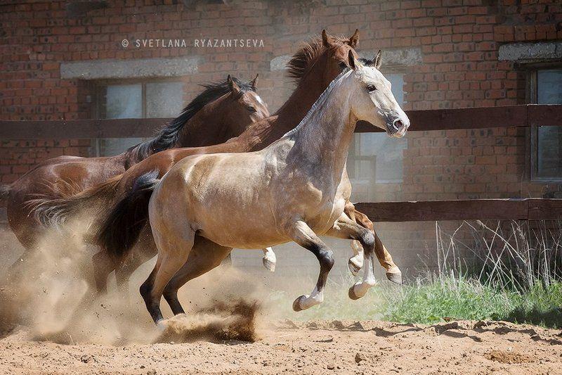 horses, horse, outdoor, motion, gallop, farm, paddock, ranch, лошади, в движении На одном дыханииphoto preview