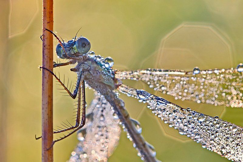 стрекоза, роса, насекомое, утро, природа, макро, боке Про стрекозphoto preview