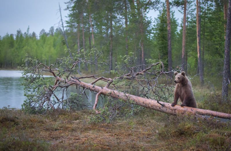 bears, finland, tree, muscles I\'m the world\'s strongest bear!photo preview