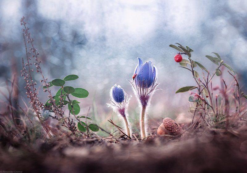 oleksandr chornyi, макро, макро красота, макро мир, макро истории, природа, украина, коростышев, фотограф, чорный, сон-трава, сон трава, я видел нежность...photo preview