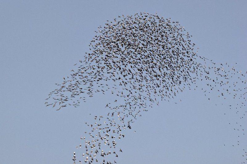 Скворцы «рисуют» голова утки в небо.photo preview