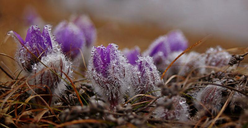 сон-трава,капли,роса,фиолетовый,цветок,макро,трава,желтый,первоцвет,крым,цветы,природа Весенние пушистикиphoto preview