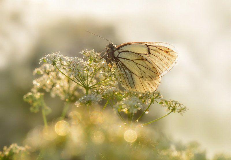 макро, бабочка, белянка, утро Туманное утро белянкиphoto preview