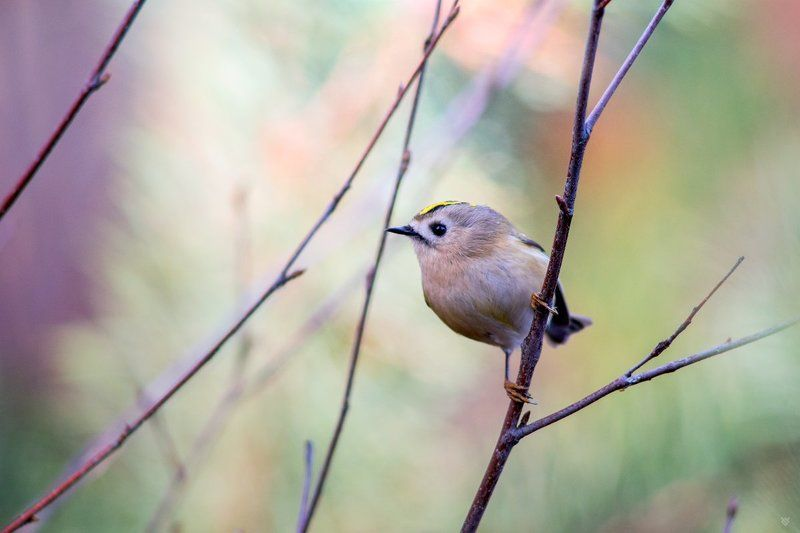Goldcrest, birds, wildlife Goldcrest in pastelsphoto preview