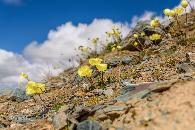 маки, горы, желтые, цветы, yellow, poppy, flowers, mountains, алтай, altai Горные макиphoto preview