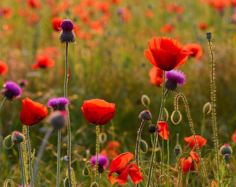 макро, маки, цветение Вечер в маковом полеphoto preview