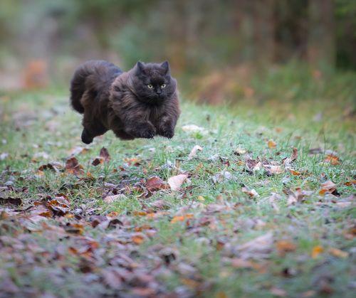 My cat Mörkö running :)