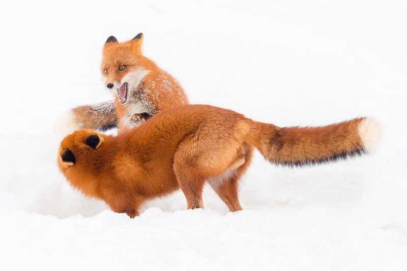 камчатка, лиса, животные, природа, путешествие, зима Семейный разговорphoto preview